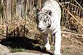 WhiteTiger PantheraTigris.jpg