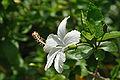 White Hibiscus 5826.JPG