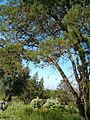 Widdringtonia nodiflora KirstenboshBotGard09292010L.JPG