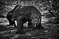 Wild Komodo Dragon.jpg