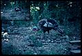Wild Turkey (Missouri State Archives) (8203210183).jpg