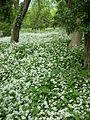 Wild garlic flowering near Caterham.JPG