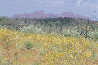 Uluṟu-Kata Tjuṯa National Park - Wildflowers in bloom with Kata Tjuta in the background