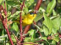 Wilson's warbler on Seedskadee National Wildlife Refuge (37073434795).jpg