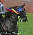 Winner at the 2009 Shelbyville Horse Show (3785753122).jpg