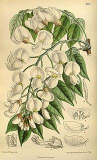 <i>Wisteria brachybotrys</i> Species of legume