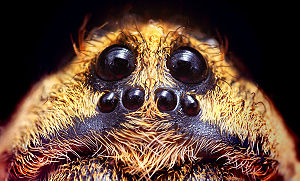 Wolf spider - Eye configuration of a Hogna species