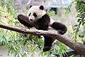 Xiao Liwu im San Diego Zoo - Foto 2.jpeg