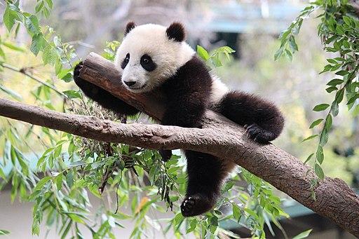 Xiao Liwu im San Diego Zoo - Foto 2