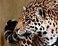 Yaguara jaguar Panthera onca.jpg