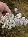 Yarrow and Queen Anne's Lace flower comparison.jpg