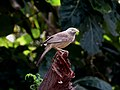 Yellow-billed babbler IMG 5171.jpg