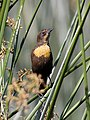 Yellow-headed Blackbird - female.jpg