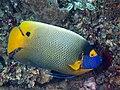 Yellow-mask angelfish (Pomacanthus xanthometopon) (46982094274).jpg