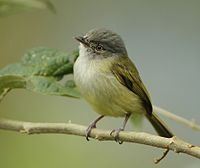 Yellow-olive-Flycatcher.jpg