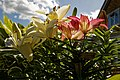 Yellow and pink lilies at Boreham, Essex, England.jpg