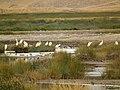 Yellow billed egret in Tanzania 1971 Nevit.jpg