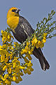 2 / Yellow-headed Blackbird