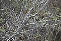 Yellow throated vireo by Inagua salina (38840003672).jpg