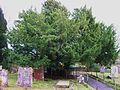 Yew tree, Capel.JPG