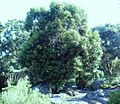 Young Ironwood tree - Olea capensis - cape town 1.JPG
