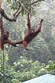 Young Orang Utan friends (26498714881).jpg