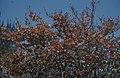 Young sea grape. Coccoloba uvifera, Nassau (24005256377).jpg
