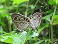 Ypthima huebneri – Common Four-ring mating 11.jpg