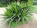 Yucca guatemalensis - Villa Thuret - DSC04824.JPG