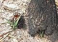 Yucca schidigera 11.jpg