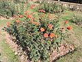Zakir Hussain Rose Garden,Chandigarh in spring 2017 05.jpg