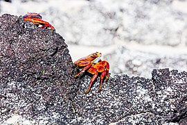 Zayapa (Grapsus grapsus), Cerro Brujo, isla de San Cristóbal, islas Galápagos, Ecuador, 2015-07-24, DD 148.JPG