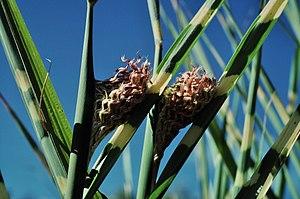 Miscanthus sinensis - Image: Zebra grass 5