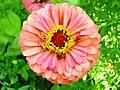 Zinnia Flower (209369651).jpeg