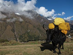 Dzo - A dzo acting as a pack animal en route to Mount Everest