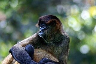 Azuero spider monkey subspecies of mammal