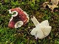 Zwartpurperen russula (Russula atropurpurea) (d.j.b.) 03.jpg
