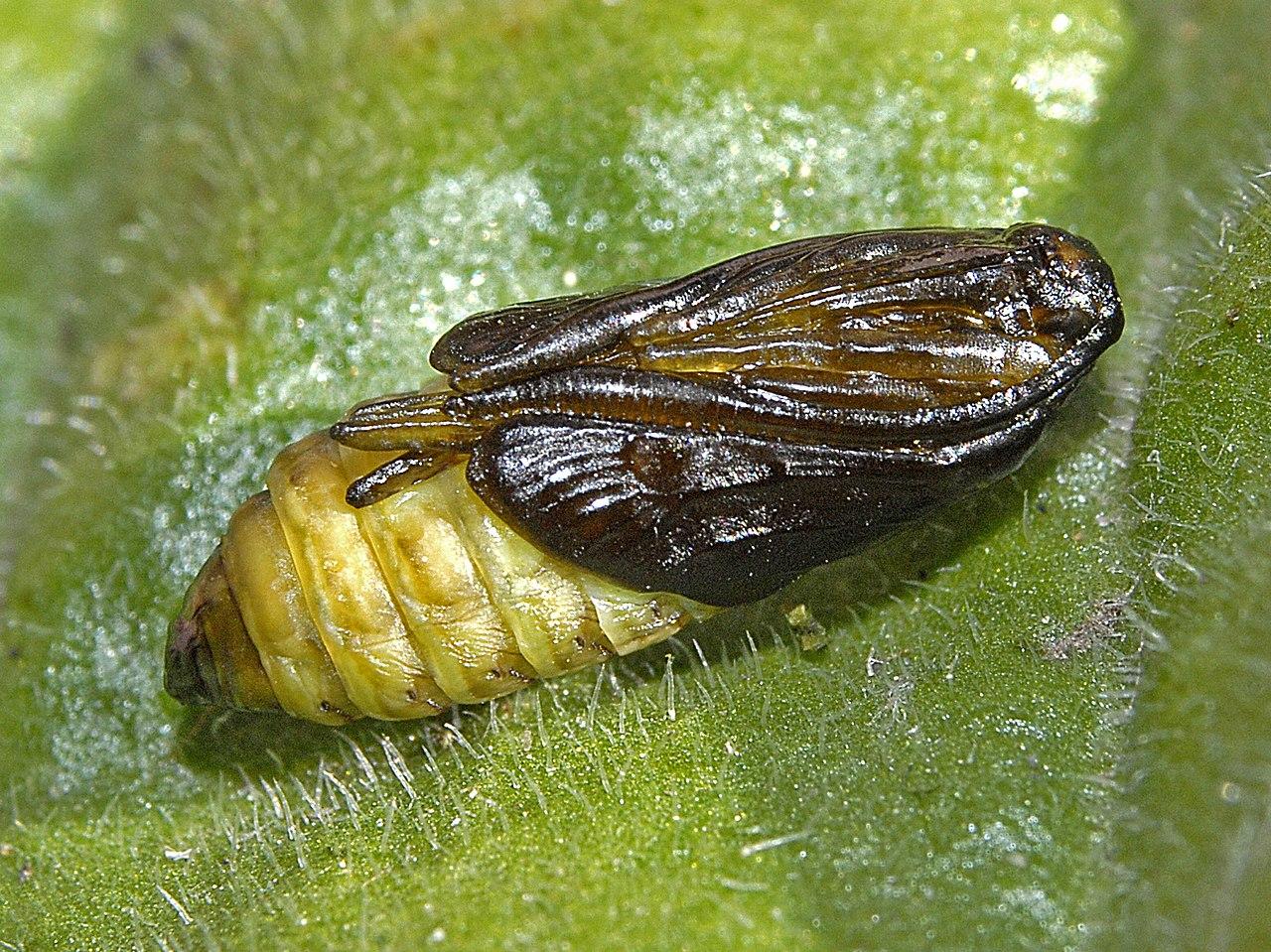 Vretienka obyčajná (Zygaena filipendulae) - kukla