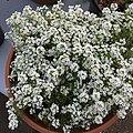 'Giga White' alyssum IMG 5046.jpg