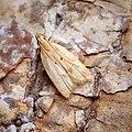 (0861) Acompsia schmidtiellus (35940703940).jpg