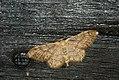 (1713) Riband Wave (Idaea aversata) (3661285022).jpg