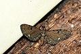 (1832) Currant Pug (Eupithecia assimilata) (3612995563).jpg