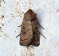 (2382) The Rustic (Hoplodrina blanda) - Flickr - Bennyboymothman (2).jpg
