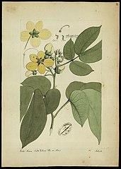 (Cassia cassillaris, Linn)