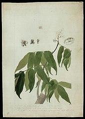 (Dicorynia Paraensis, Benth)