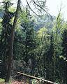 (Nur) einer von vielen Bäumen der Sächsischen Schweiz.jpg