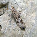 (Rush Veneer) Nomophila noctuella family Crambidae. - Flickr - gailhampshire.jpg