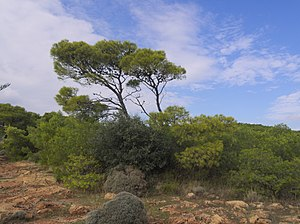 Pinus halepensis - P. halepensis on the Sounion Natural Park, Greece