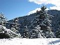 Χιονισμένο ελατοδάσος.jpg