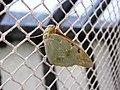 Бабочка на выставке НБС 9.jpg